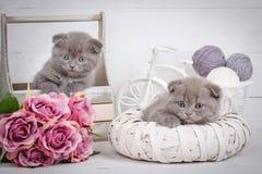 家、安静和爱概念-两只苏格兰人折叠猫睡着 免版税图库摄影