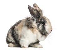 家兔开会,被隔绝 免版税图库摄影