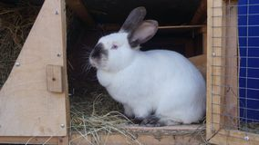 家兔线吃着五谷和草在农厂储藏箱 库存图片