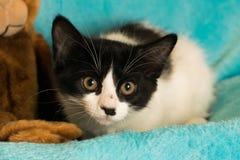 家养的中等头发小猫 免版税库存照片