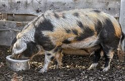家养的公猪1 图库摄影