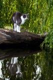 家养的害怕的猫和他的反映在水中 免版税图库摄影