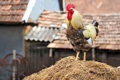 家养的干草堆纵向雄鸡 免版税库存照片