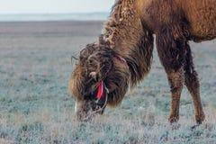 家养的棕色bactrian双峰的骆驼吃着草 免版税图库摄影