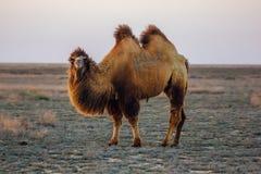 家养的棕色bactrian双峰的骆驼在哈萨克斯坦沙漠  库存照片