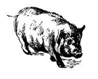 家养的猪 皇族释放例证