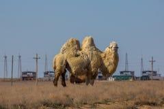 家养的白色bactrian双峰的骆驼在哈萨克斯坦沙漠  库存照片
