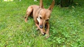 家养的短毛猎犬母狗与黄褐色的头发,红色,棕色,棕褐色的褐色的 使用在绿色庭院里和被纵容的宠物小狗 股票录像