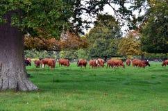 家养的肉用牛在有橡树的一个草甸 免版税库存照片
