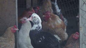家养的鸡母鸡和鸭子在农厂禽畜围场 股票视频