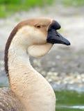 家养的鹅纵向天鹅 库存照片