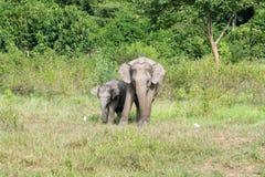 家庭亚洲大象野生生物走和看草的为食物在森林隗Buri国家公园 泰国 免版税库存照片