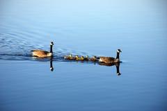 家庭保护加拿大人鹅 图库摄影