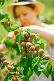 家庭农夫检查成熟在树枝的杏子 库存照片