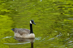 家庭加拿大鹅游泳 免版税图库摄影