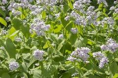 家庭十字花科的开花的月经rediviva药用植物 在长的词根的白色紫色花 庭院医药 免版税库存图片