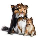 家庭大牧羊犬尾随水彩绘画 库存照片