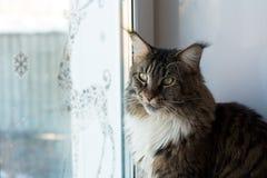 家庭宠物猫 库存图片