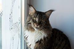 家庭宠物猫 库存照片