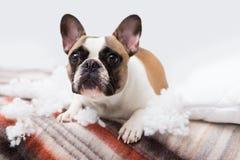 家庭宠物驱逐舰在与一个被撕毁的枕头的床上说谎 宠物照管摘要照片 与滑稽的面孔的小有罪狗 免版税库存照片