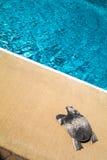 家庭室外游泳池和一只银色乌龟 免版税图库摄影