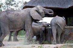 家庭小组从倾没水池的大象饮用水在萨比沙子比赛储备的一个私有阵营,南非 库存图片
