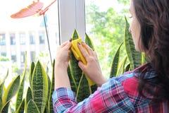 家庭概念照料室内植物百合科植物 库存照片