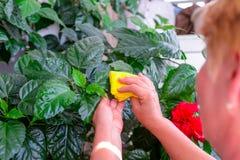家庭概念照料室内植物 成年女性递抹一棵开花的木槿种植的一块旧布 在她的阳台 精选 库存照片