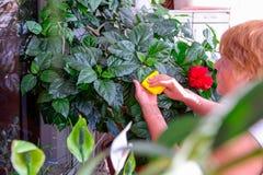 家庭概念照料室内植物 成年女性递抹一棵开花的木槿种植的一块旧布 在她的阳台 精选 图库摄影