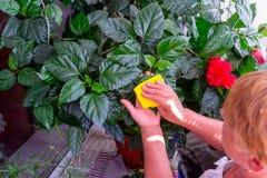 家庭概念照料室内植物 成年女性递抹一棵开花的木槿种植的一块旧布 在她的阳台 精选 库存图片