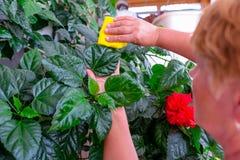 家庭概念照料室内植物 成年女性递抹一棵开花的木槿种植的一块旧布 在她的阳台 精选 免版税库存照片