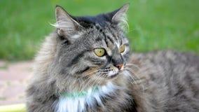 家庭灰色猫关闭在草坪 股票录像