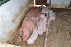 家庭猪 免版税库存照片