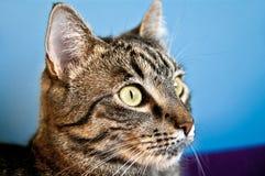家庭猫看 免版税库存图片