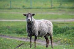 家庭绵羊是公羊的类的一个有蹄动物 库存照片