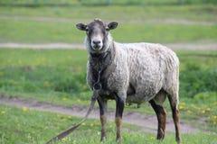 家庭绵羊是公羊的类的一个有蹄动物 免版税库存照片