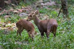 家庭肉猪鹿(Hyelaphus porcinus) 免版税图库摄影
