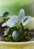 家庭花,在罐的绿色新芽 仍然1寿命 免版税库存照片