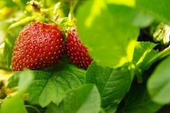 家庭草莓是更好的! 库存照片
