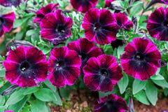 家庭菜园的黑暗的紫色喇叭花植物 图库摄影
