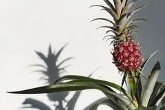 年轻家庭菠萝和他的阴影的布什在白色背景 库存图片