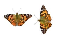 家庭蛱蝶科的两只聚乙烯性原细胞蝴蝶在白色背景的,被隔绝,特写镜头, 免版税库存图片