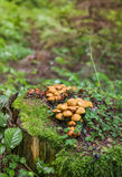 家庭蜜环菌 库存图片