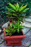 家庭装饰盆的植物 免版税库存照片