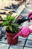 家庭装饰盆的植物 库存照片
