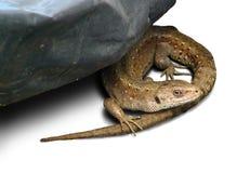 家庭鬣鳞蜥 库存图片