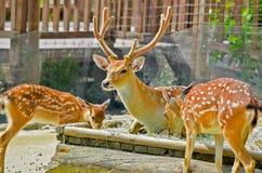 家庭鹿在动物园里 免版税图库摄影