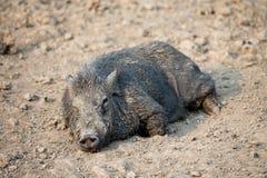 家庭黑猪在农场 免版税库存图片