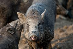 家庭黑猪在农场 免版税库存照片