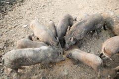 家庭黑猪在农场 库存图片
